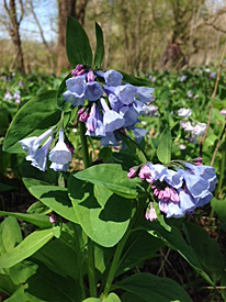 Virginia Bluebells