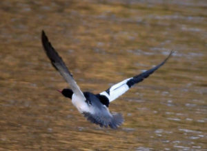 Common Merganser at Banshee Reeks