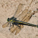 Postponed: Dragonflies and Damselflies (Virtual)
