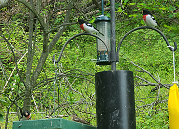 Four Rose-breasted Grossbeaks at feeders
