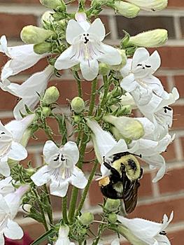 Bumblebee on Penstemon
