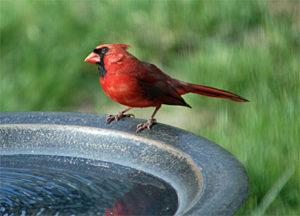 Northern Cardinal at Birdbath
