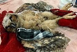 Great Horned Owl fledgling poisoned
