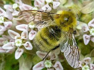 Perplexing Bumblebee on Common Milkweed