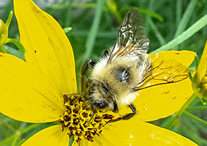 Two-spotted Bumblebee on Coreopsis