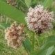 Milkweed Sale on June 26:  Pre-order Online