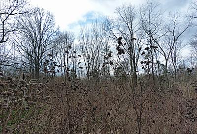 Mountain mint stalks in winter