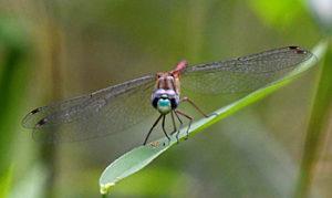 A Blue-faced Meadowhawk Dragonfly