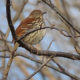 Beautiful Brown Thrashers Seen During Bles Bird Walk