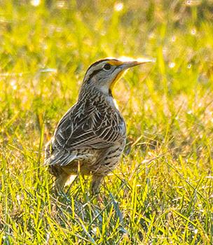 Eastern Meadowlark in the grass