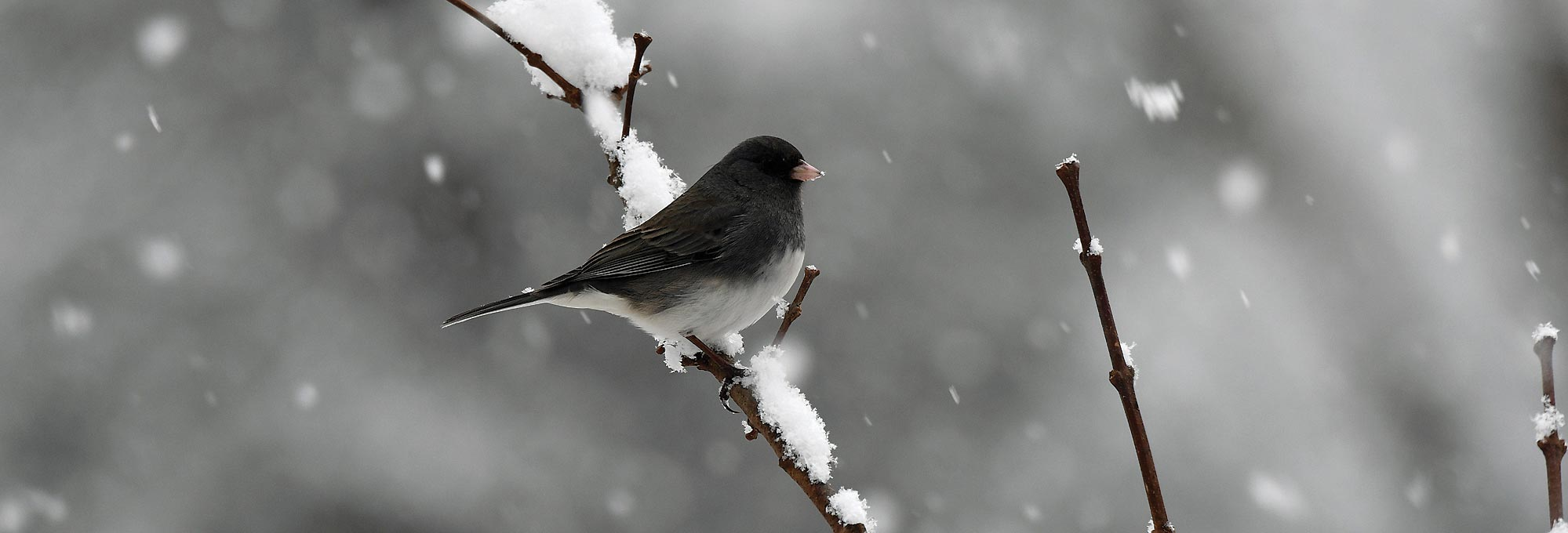 Junco bird in the winter snow by