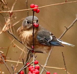 Eastern Bluebird with berries