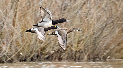 Ring-necked Ducks flying