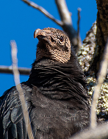 Close up of Black Vulture