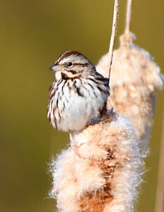 Song Sparrow on cattail