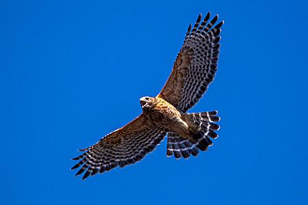 Screaming Red-shouldered Hawk.