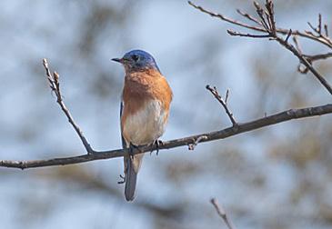 Eastern Bluebird on branch