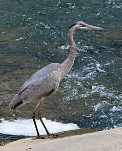 Great Blue Heron at the monitoring site.