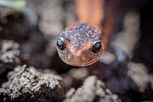 Front view of Jefferson salamander