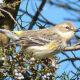 Few Warblers on Bles Park Bird Walk