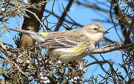 Yellow-rumped Warbler in Eastern Red Cedar