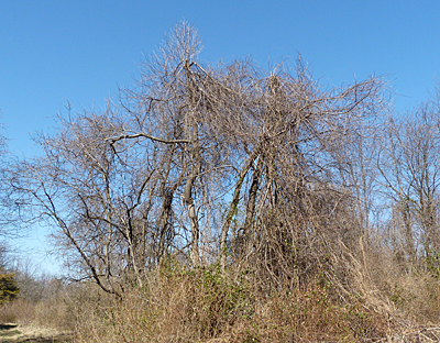 Trees with invasives
