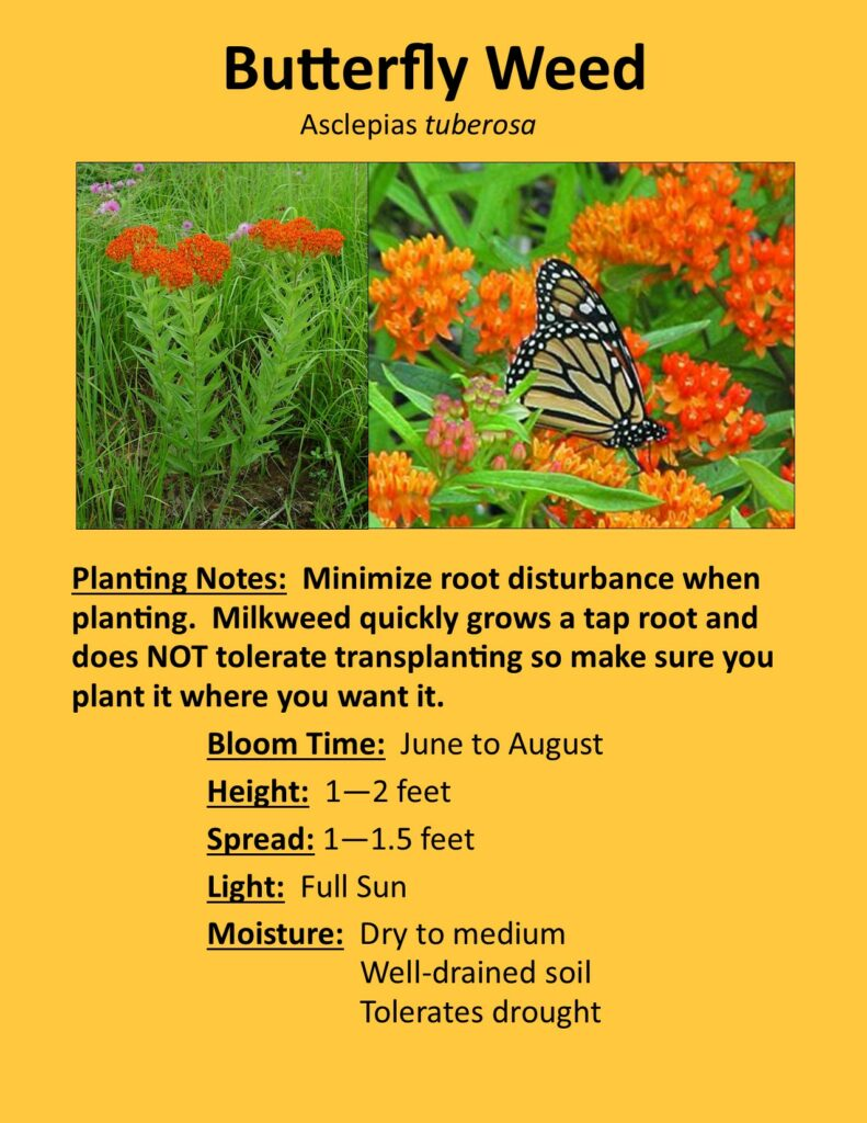 Butterfly Weed Description