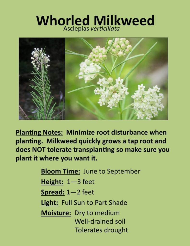 Whorled Milkweed Description