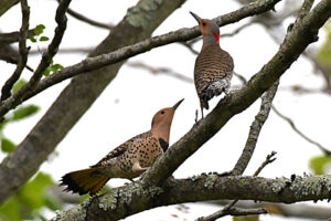 male and female Northern Flickers