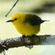 Warblers Wow at Final Celebrate Birds Walk