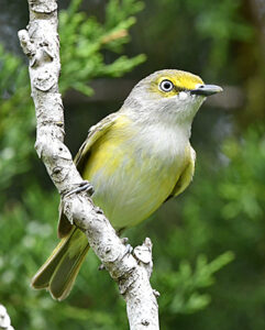 White-eyed Vireo perched on branch