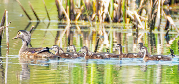Wood Ducks swimming