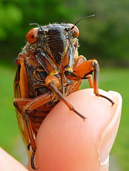 Cicada on finter