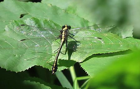Black-shouldered Spinylegs dragonfly