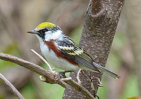 Adult Chestnut-sided Warbler.