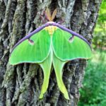 Luna Moth at Bles Park by Lisa Streckfuss