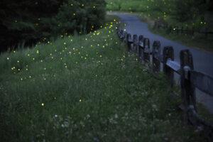 Fireflies lighting up at night