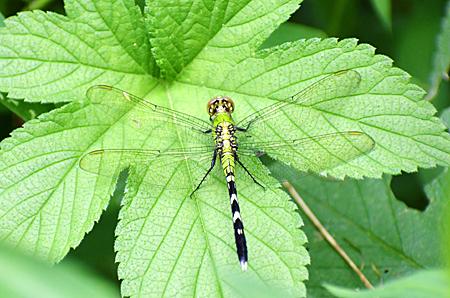 Female Eastern Pondhawk