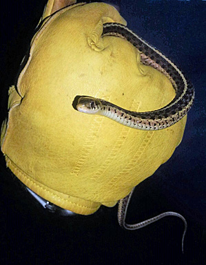 Juvenile Garter Snake