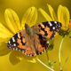 Butterfly Counting in Loudoun County