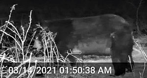 bear at night on trail cam