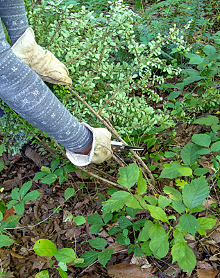Hand-clearing Japanese Barberry