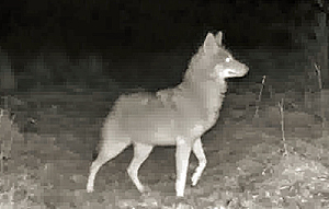 an alert coyote at night