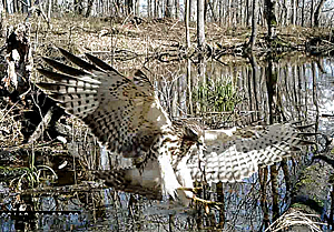 Red-shouldered Hawk with a frog in its beak