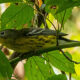 Mimics and Warblers Plentiful at Bles Park
